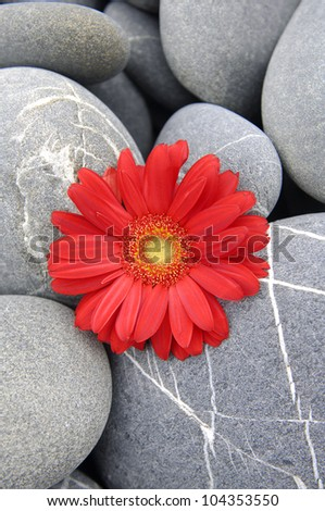 Single red gerbera flower on pebbles texture