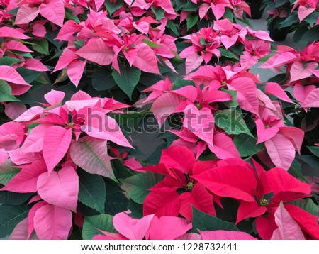 Single red poinsettia in the middle of pink poinsettias. Christmas background.