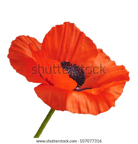 Single red poppy flower isolated on white background - stock photo