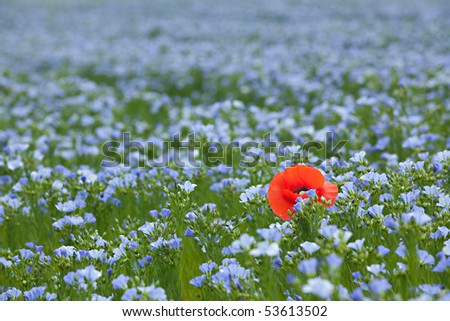 single red poppy in blue flax field at spring, shallow depth of field - stock photo