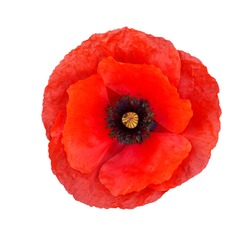 Single red  poppy isolated on white background.Top view