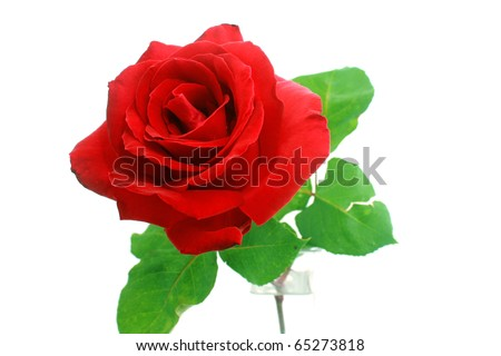 red rose flower background. stock photo : Single red rose