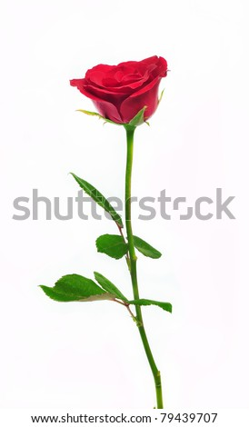 Single red rose flower isolated on white background