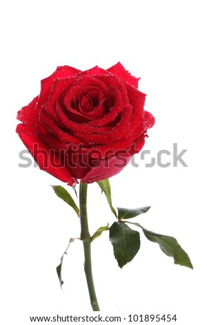 Single red rose flower with dew on white background
