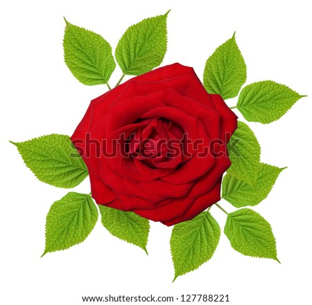 Single red rose flower with leaves isolated on white background