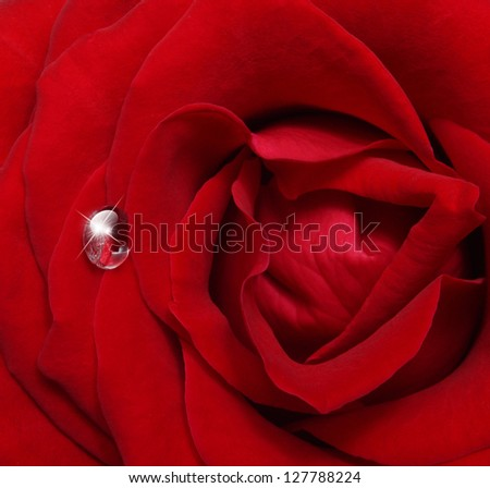 Single red rose flower with water drop