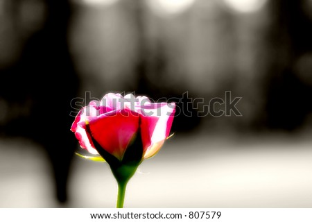 Single red rose in sunset light and color (radiant soft focus effect), against a black and white background.