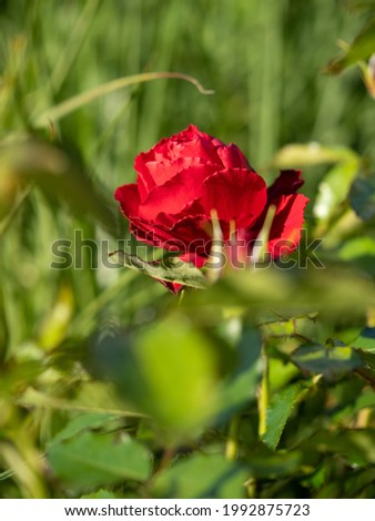 single red rose in the morning sun