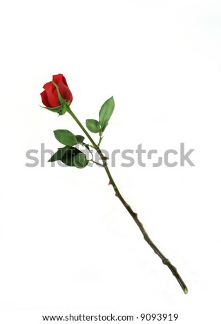 Single red rose on white background for Valentine's Day or any special occasion