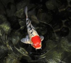 Single red, white, and black koi fish swimming in dark green water