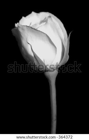 single rose #364372