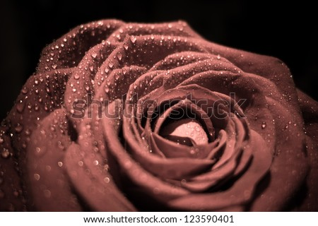 Single rose closeup