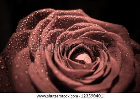 Single rose closeup