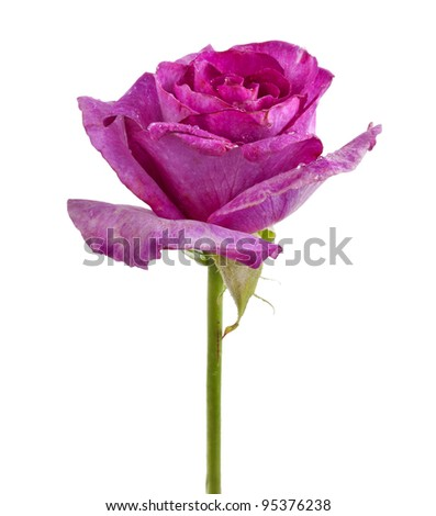 single rose flower  isolated on a white background
