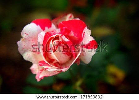 Single rose mix colour between white and red for love valentine seen at bhubingpalace, Chang Mai
