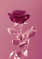Single rose on pink background. Monochromatic view. Vintage style.