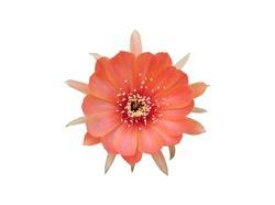 Single salmon pink cactus flower, isolated on white background