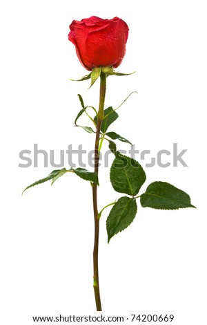 single scarlet rose on a white background - stock photo