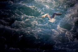 Single seagull flying over sea the sea waters