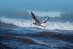 Single seagull flying with with sea as a background