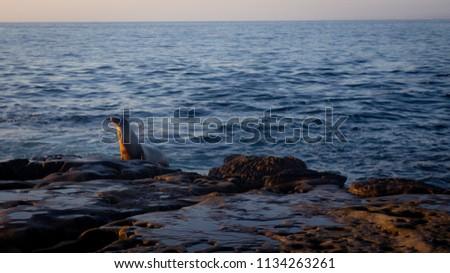 Single Sealion watching the sunset #1134263261