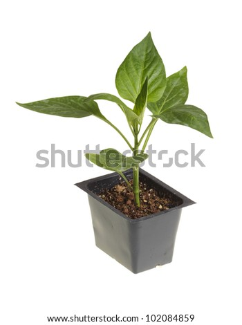 Single seedling of a bell pepper (Capsicum annuum) in a black plastic pot ready for transplanting into a home garden