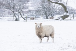 Single sheep in the snow