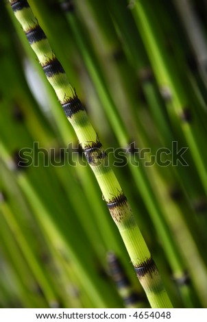 single shoot of bamboo set against out of focus bamboo background