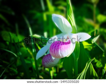 Single Showy Lady's-slipper - Cypripedium reginae - also known as Pink-and-white Lady's-slipper or the Queen's Lady's-slipper. Official Minnesota State Flower - beautiful blossom in natural setting. #1495335020