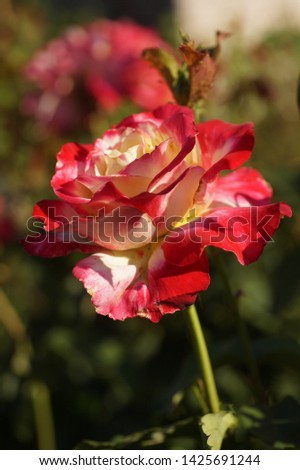 Single, single, rose, uncovered, on a blurred background