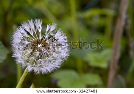single small Dandelion seed head