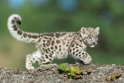 Single snow leopard cub running on rocks