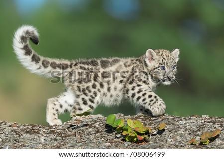Single snow leopard cub running on rocks #708006499