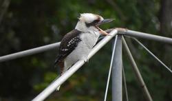 single sole lone kookaburra kingfisher