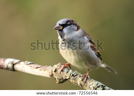 Single sparrow on a branch