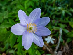Single spring wood anemone - Anemone nemorosa Allenii - large wonderful lavender-blue or silvery blue flower with seven petals (named after James Allen) with blurred green and dark background