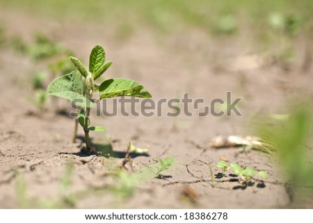 "Single sprout in focus along a row of spring crop soybeans in near drought conditions. A challenge to spring-time soybean crops  also known as ""Glycine max"""