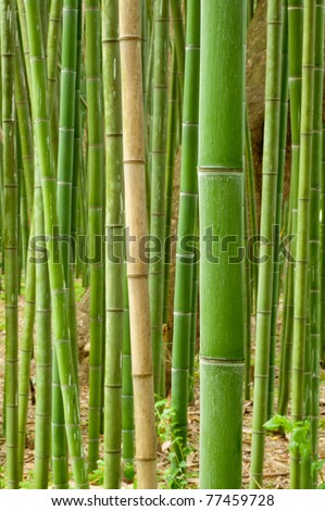 single stalk of fresh spring bamboo showing other growing bamboo in the background.