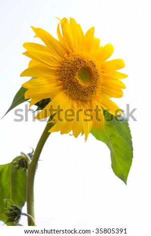 single sunflower under sunlight