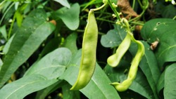 Single sword bean, close up picture.