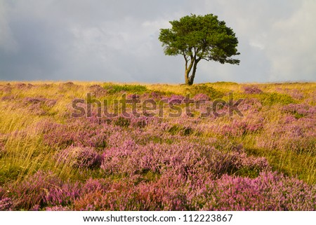 Single tree and purple heather on the Quantock Hills in Somerset