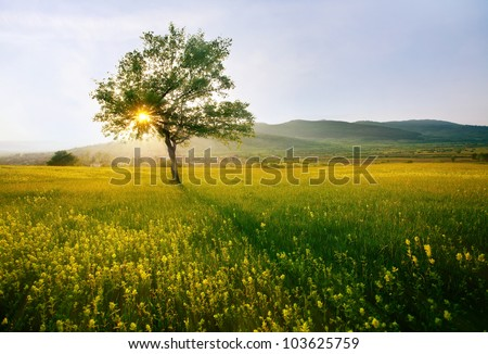 single tree in sunny farmland near village; hdr sunset landscape