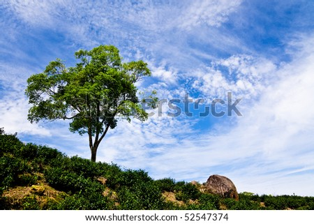 Single tree on tea garden  with beautiful cloudscape background