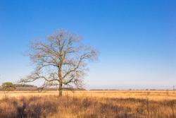 Single tree on the heather field of Noordsche veld in Drenthe, Netherlands