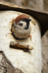 Single Tree Sparrow bird on a tree nesting box during a spring nesting period