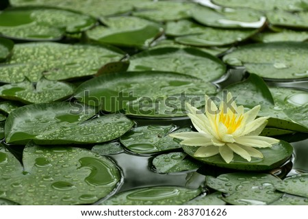 Single Water Lily and green lily pads floating on pond and covered with water drops after a Spring rain.