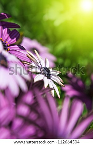 single white and purple daisy flower in the warm glow of the sun