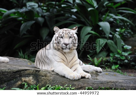Single white bengal tiger lying