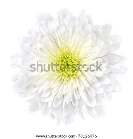 Single White Chrysanthemum Flower with Yellow Center Isolated over White Background. Beautiful Dahlia Flowerhead Macro