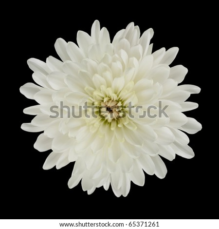 Single White Dahlia Flower Isolated on Black Background